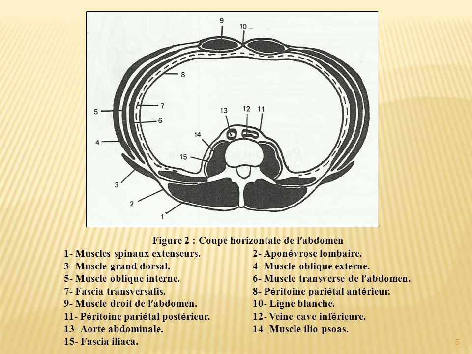 Figure 2 : Coupe horizontale de l ' abdomen 1- Muscles spinaux extenseurs. 2- Apon é vrose lombaire. 3- Muscle grand dorsal.4- Muscle oblique externe.