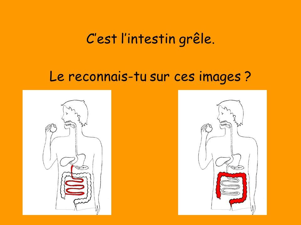 C'est l'intestin grêle. Le reconnais-tu sur ces images ?