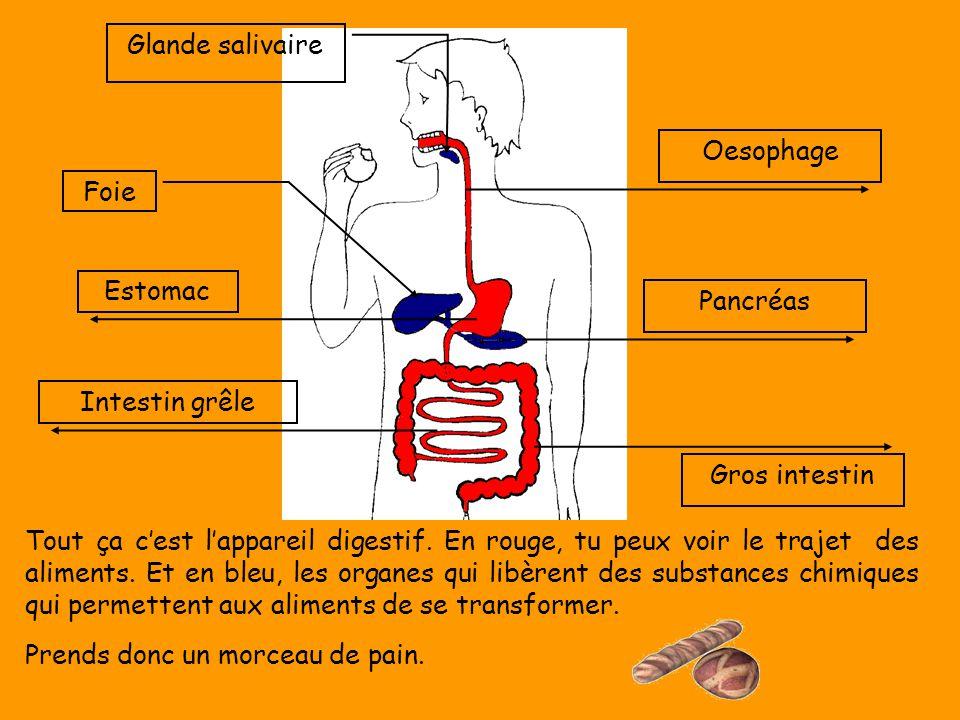 Gros intestin Oesophage Pancréas Glande salivaire Foie Estomac Intestin grêle Tout ça c'est l'appareil digestif. En rouge, tu peux voir le trajet des