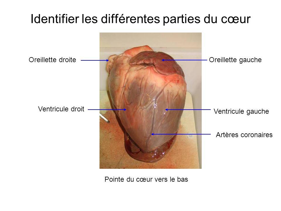 Oreillette droite Ventricule droit Oreillette gauche Ventricule gauche Artères coronaires Identifier les différentes parties du cœur Pointe du cœur vers le bas