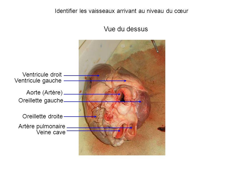 Vue du dessus Ventricule droit Ventricule gauche Oreillette gauche Oreillette droite Aorte (Artère) Veine cave Artère pulmonaire Identifier les vaisseaux arrivant au niveau du cœur