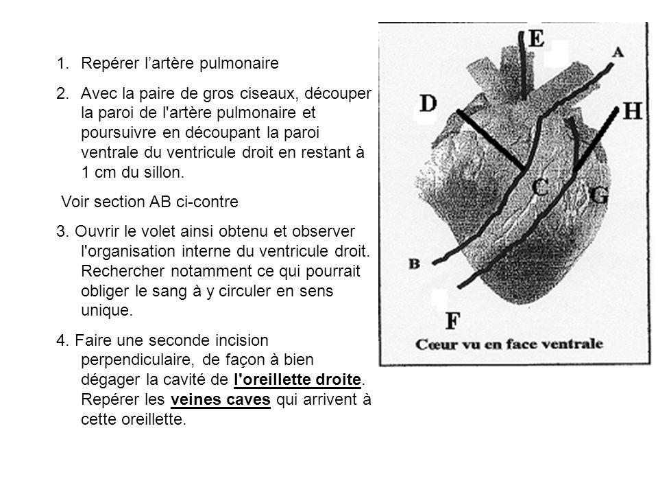 1.Repérer l'artère pulmonaire 2.Avec la paire de gros ciseaux, découper la paroi de l artère pulmonaire et poursuivre en découpant la paroi ventrale du ventricule droit en restant à 1 cm du sillon.