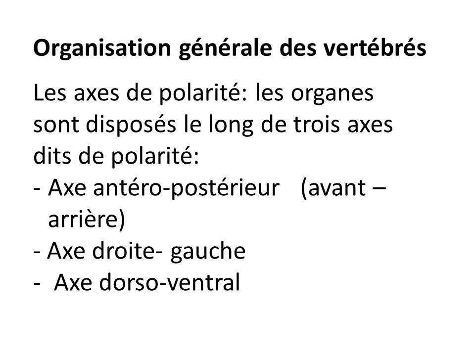 Organisation générale des vertébrés Les axes de polarité: les organes sont disposés le long de trois axes dits de polarité: -Axe antéro-postérieur (av