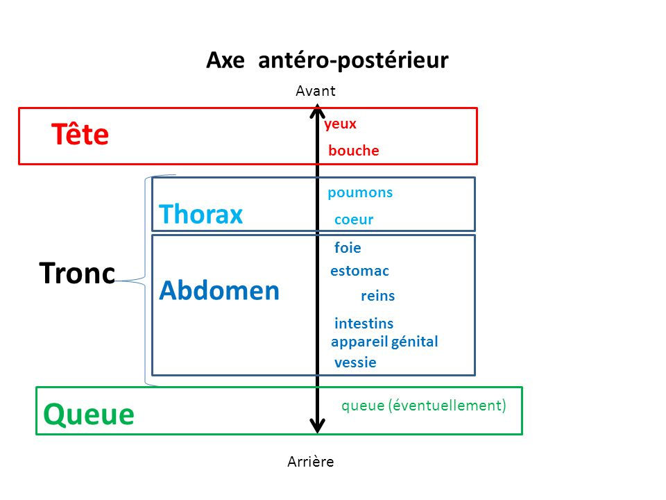 Axe antéro-postérieur yeux Avant Arrière bouche estomac poumons coeur foie intestins reins vessie appareil génital queue (éventuellement) Tête Tronc Q