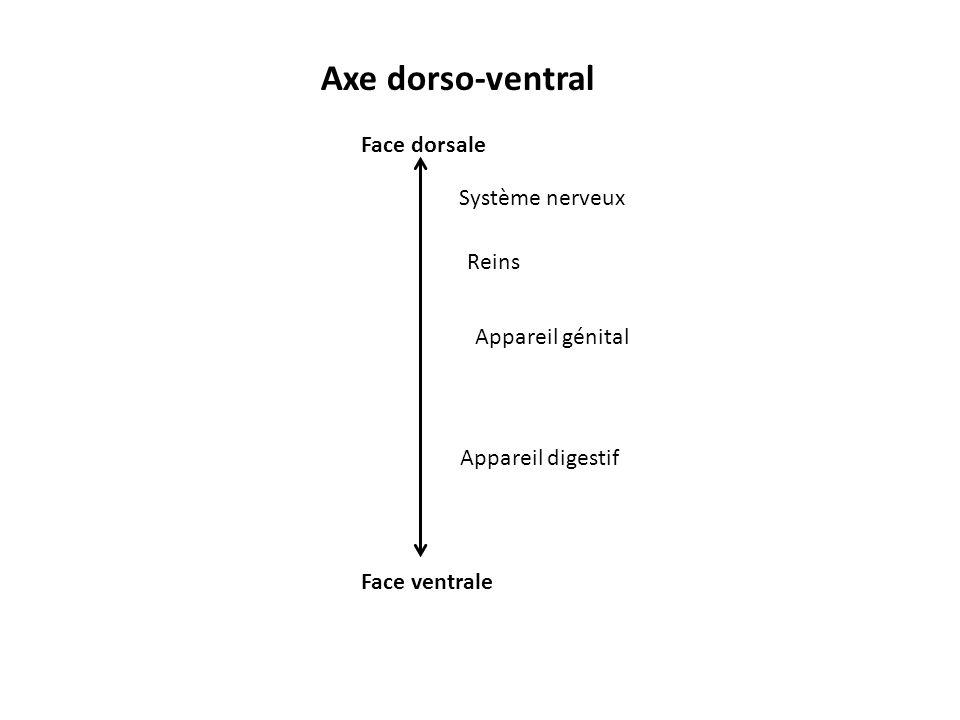 Axe dorso-ventral Face dorsale Face ventrale Système nerveux Reins Appareil génital Appareil digestif
