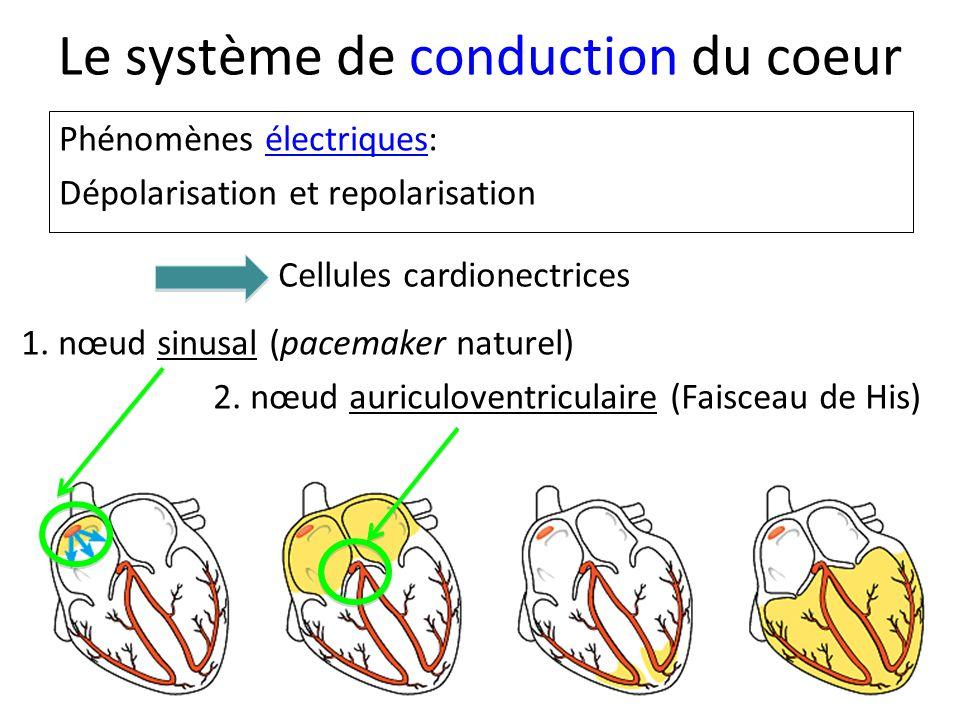 Le système de conduction du coeur Phénomènes électriques: Dépolarisation et repolarisation 1.
