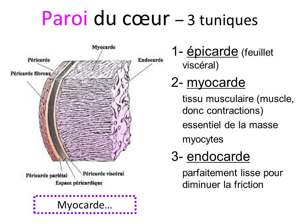 Paroi du cœur – 3 tuniques 1- épicarde (feuillet viscéral) 2- myocarde tissu musculaire (muscle, donc contractions) essentiel de la masse myocytes 3- endocarde parfaitement lisse pour diminuer la friction Myocarde…