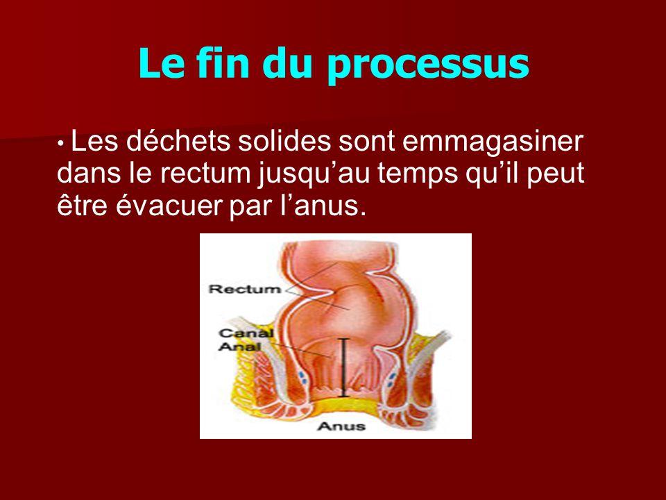 Le fin du processus Les déchets solides sont emmagasiner dans le rectum jusqu'au temps qu'il peut être évacuer par l'anus.