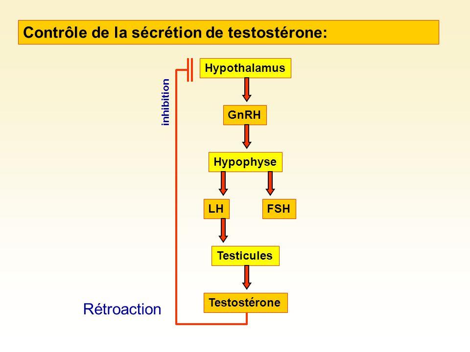 Contrôle de la sécrétion de testostérone: Hypothalamus GnRH Hypophyse FSHLH Testicules Testostérone inhibition Rétroaction