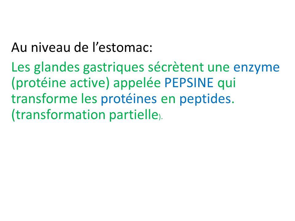 Au niveau de l'estomac: Les glandes gastriques sécrètent une enzyme (protéine active) appelée PEPSINE qui transforme les protéines en peptides.