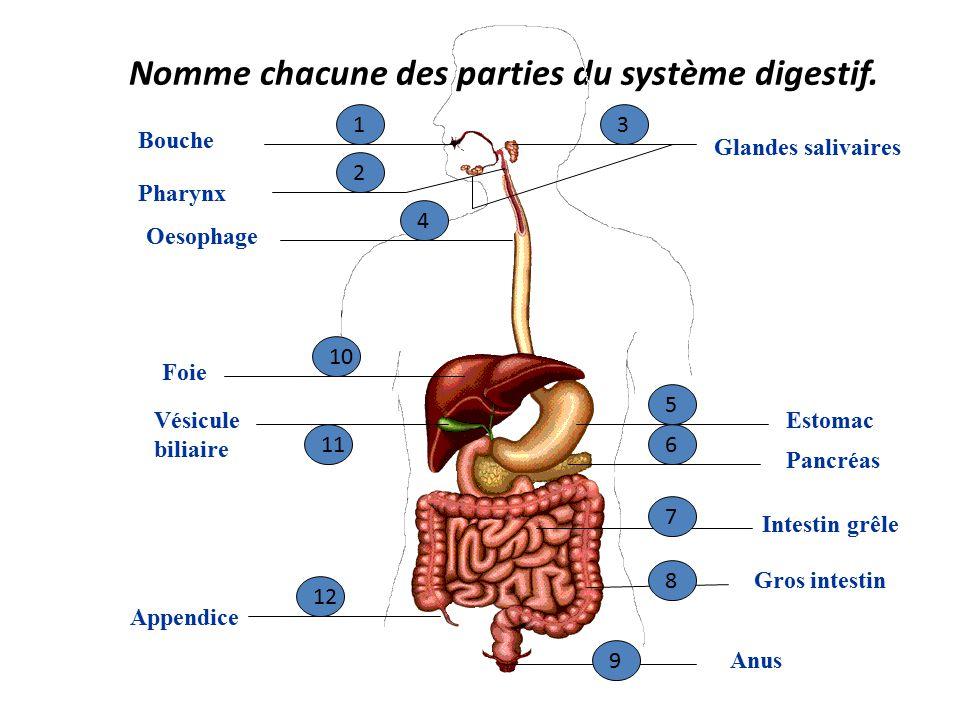 Nomme chacune des parties du système digestif.