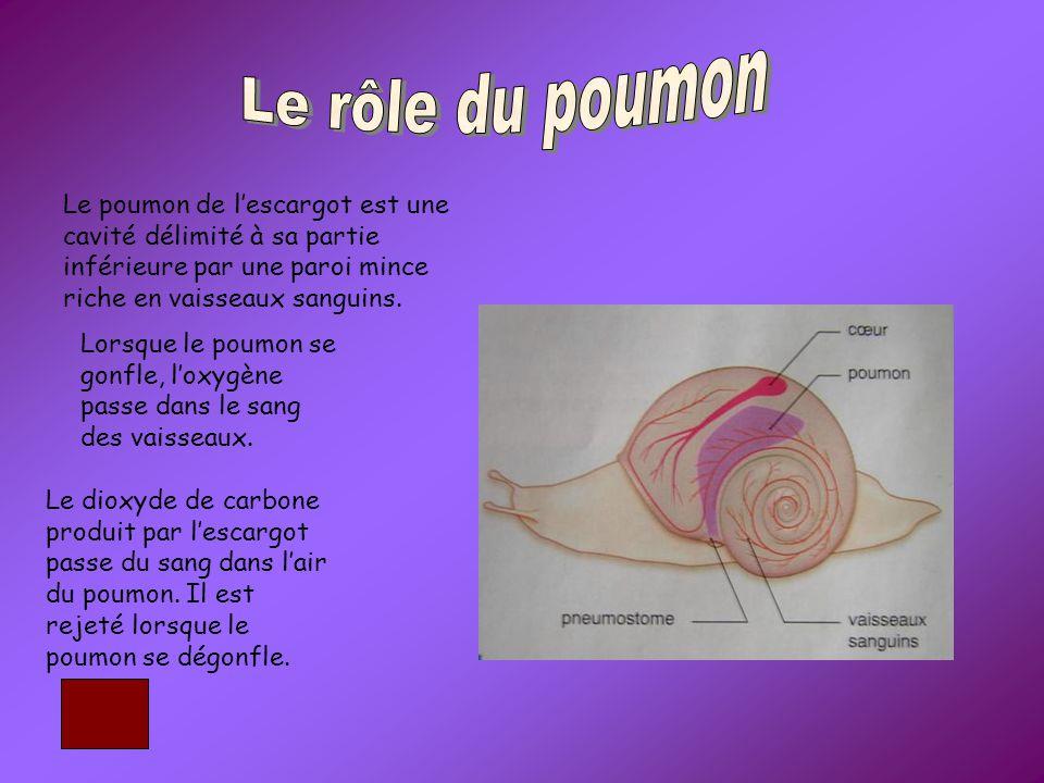Le poumon de l'escargot est une cavité délimité à sa partie inférieure par une paroi mince riche en vaisseaux sanguins.