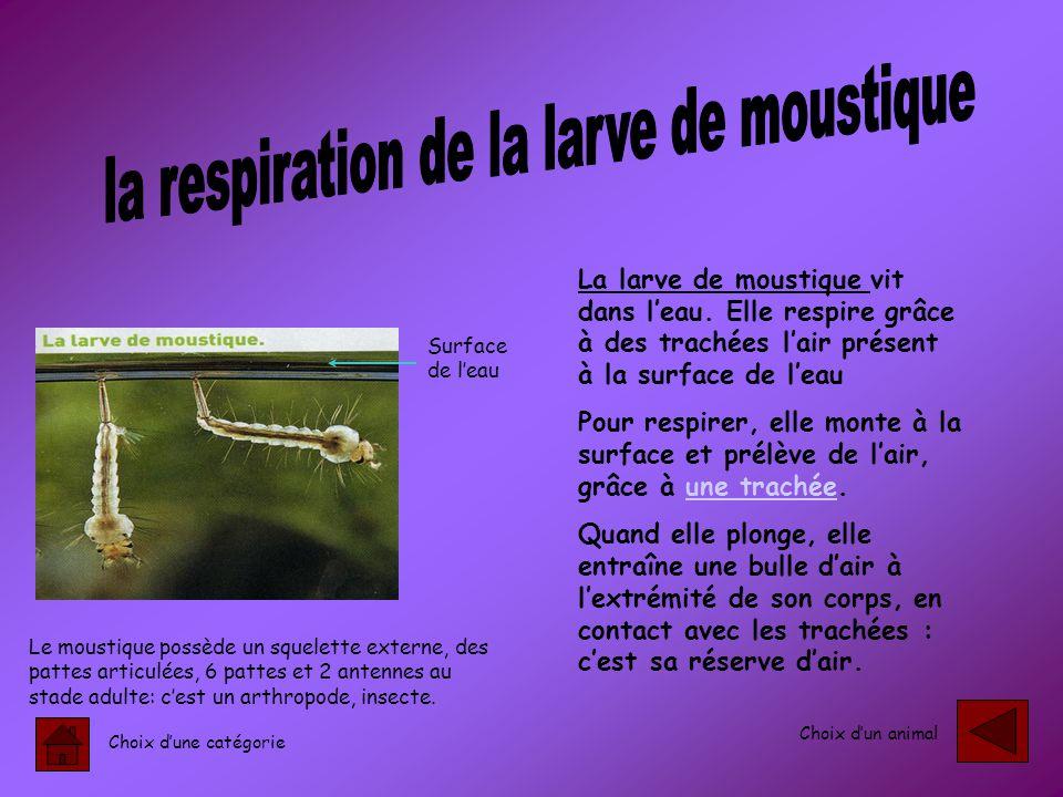 La larve de moustique vit dans l'eau.