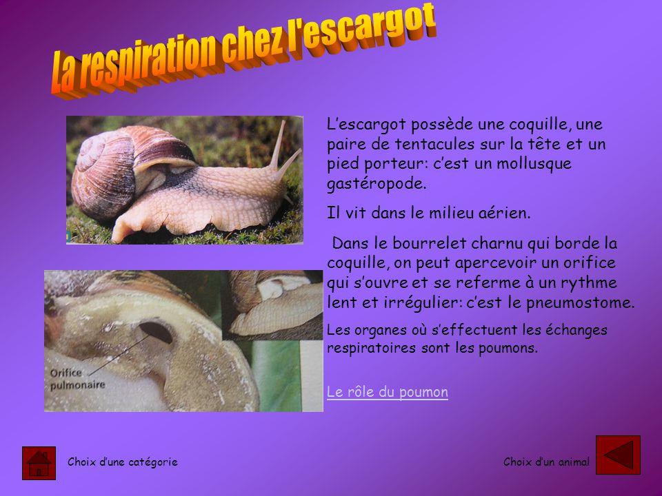 Choix d'une catégorieChoix d'un animal L'escargot possède une coquille, une paire de tentacules sur la tête et un pied porteur: c'est un mollusque gastéropode.