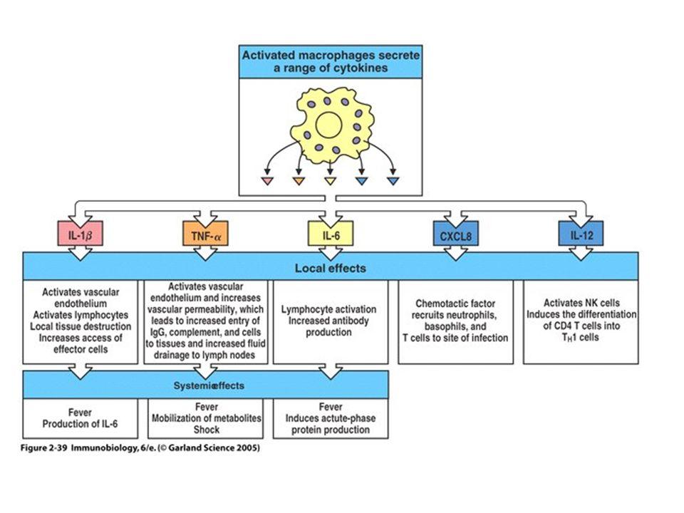 Les macrophages adoptent des phénotypes hétérogènes en fonction du stimuli activateur Innate activationClassical activation Alternative activation Stimuli: Neiseria meningitidis et autres bactéries IFN- (produit par les cellules NK et les cellules T H 1 CD4 + ) IL-4/13 (produit par les cellules T H 2 CD4 + ) Effets sur les antigènes de surface: Des molécules de co- stimulation; CMH de classe II Des molécules de co- stimulation Récepteur mannose Récepteur du mannose Dectin-1 CD14 Changements métaboliques: INOS, flambée respiratoire INOS Arginase Réponses sécrétrices:Synergie avec les réponses induites par IFN- Production de cytokines pro-inflammatoires et chimiokines: TNF-α, IL- 12, IL-1, IL-6, etc) Il-10, IL-1RA Potéines de type chitinase Effets fonctionnels:Phagocytose Présentation de lantigène Destructions des pathogènes Promeus la croissance cellulaire, formation de collagène et réparation tissulaire; promeus les allergies