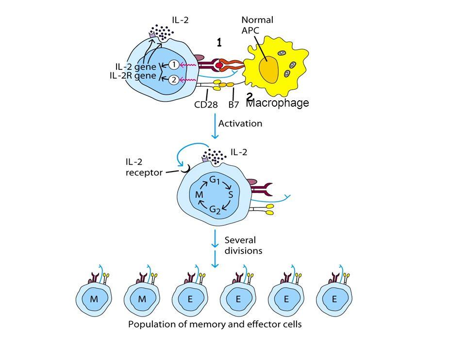 1 2 Macrophage