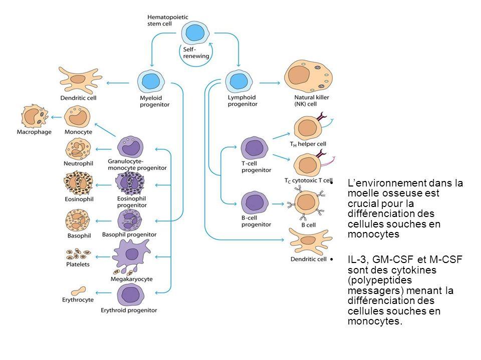Lenvironnement dans la moelle osseuse est crucial pour la différenciation des cellules souches en monocytes IL-3, GM-CSF et M-CSF sont des cytokines (polypeptides messagers) menant la différenciation des cellules souches en monocytes.