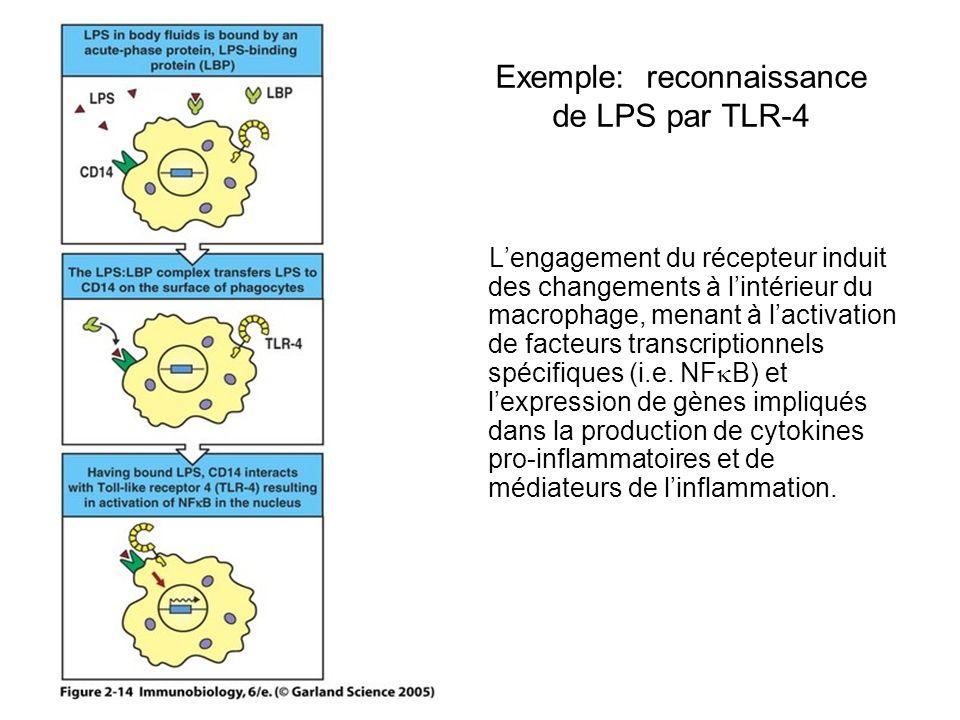 Exemple: reconnaissance de LPS par TLR-4 Lengagement du récepteur induit des changements à lintérieur du macrophage, menant à lactivation de facteurs transcriptionnels spécifiques (i.e.