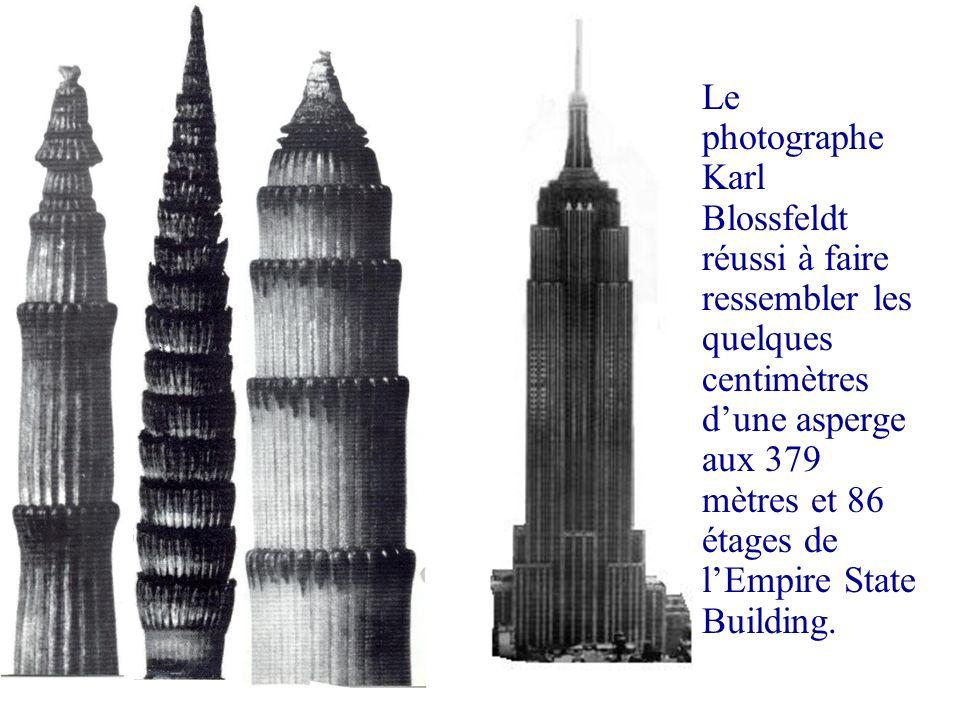 Le photographe Karl Blossfeldt réussi à faire ressembler les quelques centimètres dune asperge aux 379 mètres et 86 étages de lEmpire State Building.