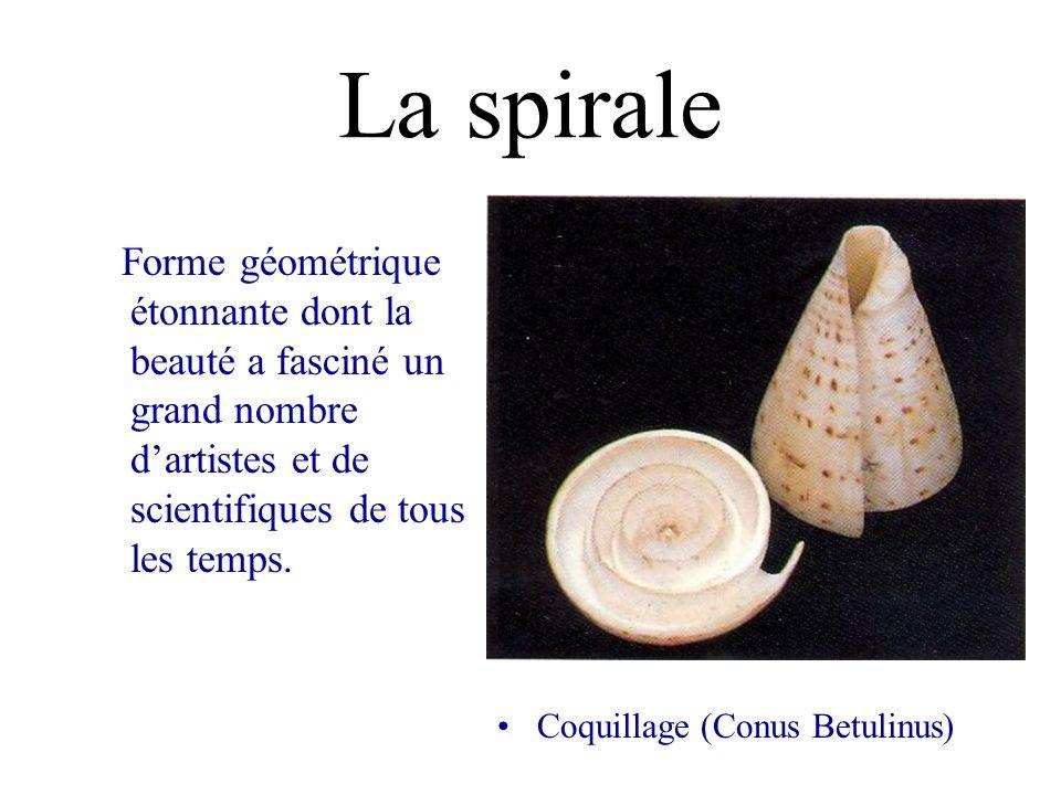 La spirale Forme géométrique étonnante dont la beauté a fasciné un grand nombre dartistes et de scientifiques de tous les temps. Coquillage (Conus Bet