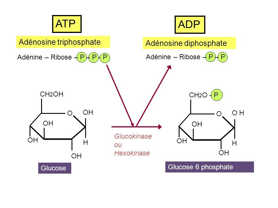O OH CH 2 O - P OH H Glucose 6 phosphate OH CH 2 O - P O OH O 6 phospho gluconolactone NADP NADP H 2 Glucose 6 phosphate deshydrogénase (GP6D) VOIE DOXYDATION DU GLUCOSE CH 2 O- P COOH