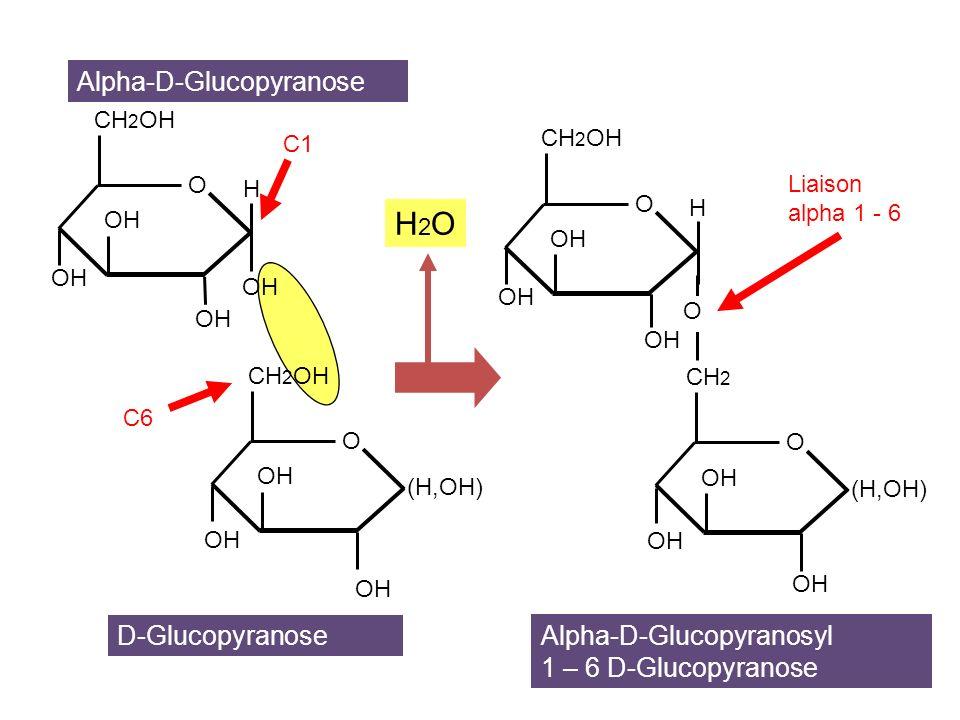 O alpha 1 – 4 alpha 1 – 6 alpha 1 – 4 O O O O O O CH 2 OH O O O CH 2 OH O O O O O CH 2 OH AMYLOSE (linéaire) AMYLOPECTINE (ramifié) Amidon = mélange damylose et damylopectine