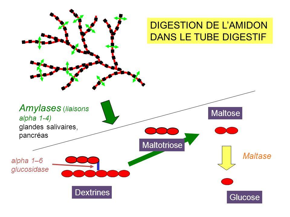 O O O O O CH 2 OH PiPi O O O O P Glycogène Glucose 1 phosphate O CH 2 O P Glucose 6 phosphate GLYCOGENOLYSE (= Utilisation des réserves de glycogène)