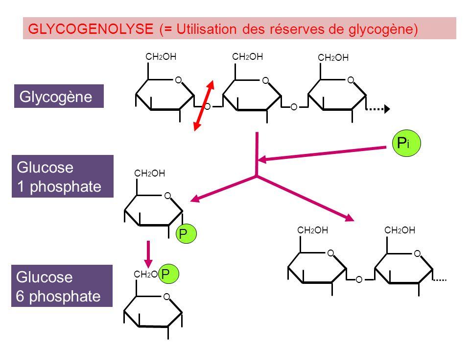 GLYCOCONJUGUES GLYCOPEPTIDES et GLYCOPROTEINES Glucides + Lipides PROTEOGLYCANES Glucides + Protéines GLYCOLIPIDES D-Galactose, D-Mannose,… N-Acétyl-D-Galactosamine, N-Acétyl-D-Mannosamine, N- Acétyl-D-Glucosamine,… L-Fucose, L-Rhamnose,… [N-Acétyl-hexosamine – Acide uronique] Fraction glucidique: GLYCOSAMINOGLYCANES Polymère de disaccharide => Acide sialique (ose acide 9C) ou acide N-Acétyl-neuraminique