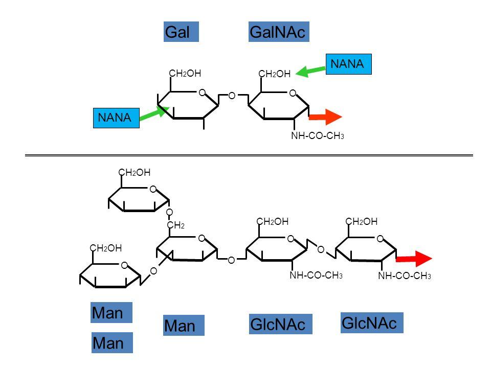 NH-CO-CH3 CH 2 OH O O H H O – SERINE NH-CO-CH3 CH 2 OH O O H H 2 N – ASPARAGINE N-Acétyl- D-Galactosamine Acide aminé à fonction alcool: Sérine, Thréonine (appartenant à une chaîne protéique) Acide aminé à fonction amide: Asparagine, Glutamine (appartenant à une chaîne protéique) N-Acétyl- D-Glucosamine LIAISON ENTRE FRACTION OSIDIQUE ET FRACTION PROTEIQUE LIAISON O - OSIDIQUELIAISON N - OSIDIQUE