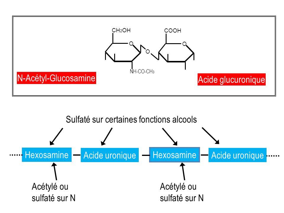 GLYCOSAMINOGLYCANES et PROTEOGLYCANES ACIDE HYALURONIQUE DERMATANES SULFATE KERATANES SULFATE HEPARINE CHONDROITINES SULFATE N-Acétyl-Glucosamine Acide glucuronique N-Acétyl-Galactosamine Acide glucuronique N-Acétyl-Galactosamine Acide L-Iduronique et D-glucuronique N-Acétyl-Glucosamine Galactose N-Acétyl-Glucosamine Acide L-Iduronique et D-glucuronique