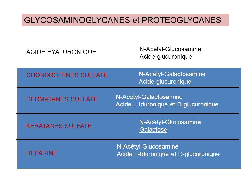 GLYCOSAMINOGLYCANES et PROTEOGLYCANES ACIDE HYALURONIQUE DERMATANES SULFATE KERATANES SULFATE HEPARINE CHONDROITINES SULFATE N-Acétyl-Glucosamine Acid