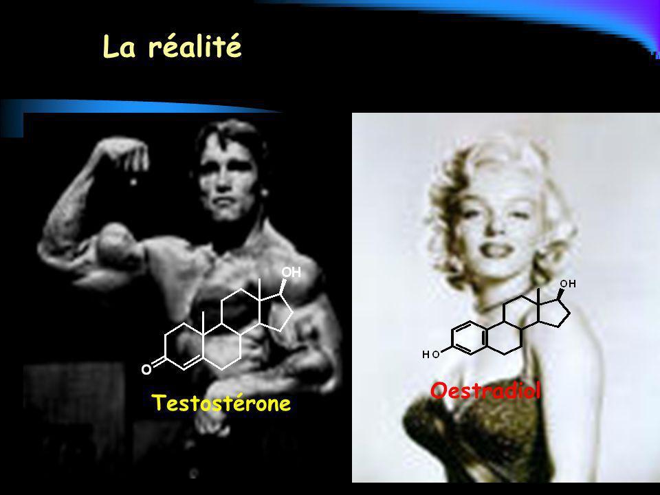Testostérone La réalité Oestradiol
