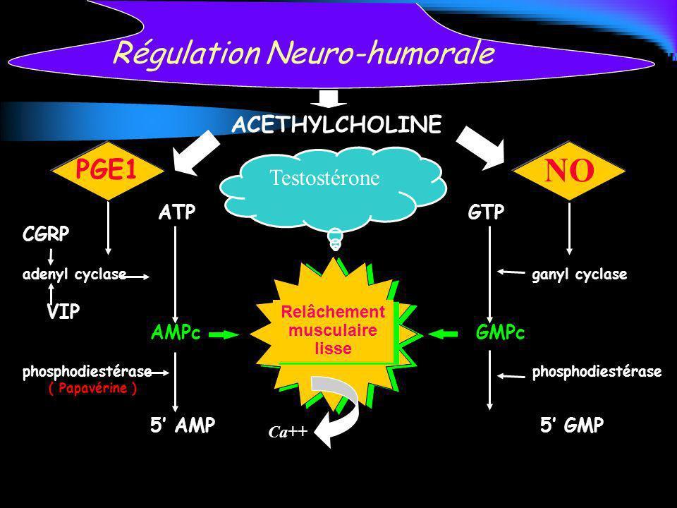 Testostérone ATPGTP CGRP adenyl cyclaseganyl cyclase VIP AMPc GMPc phosphodiestérase ( Papavérine ) 5 AMP 5 GMP Régulation Neuro-humorale NO Relâcheme