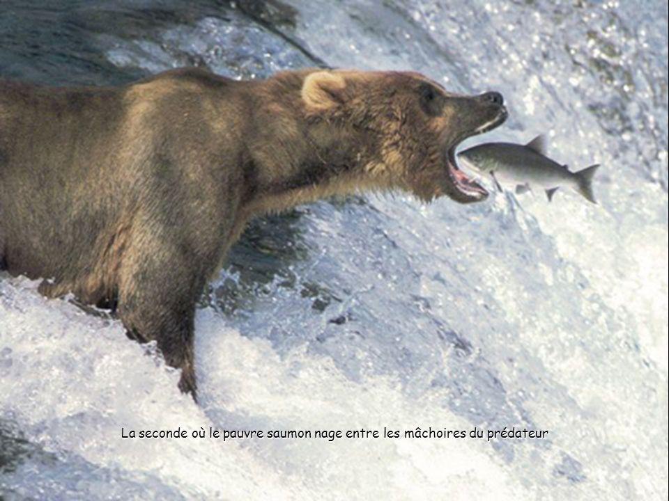La seconde où le pauvre saumon nage entre les mâchoires du prédateur