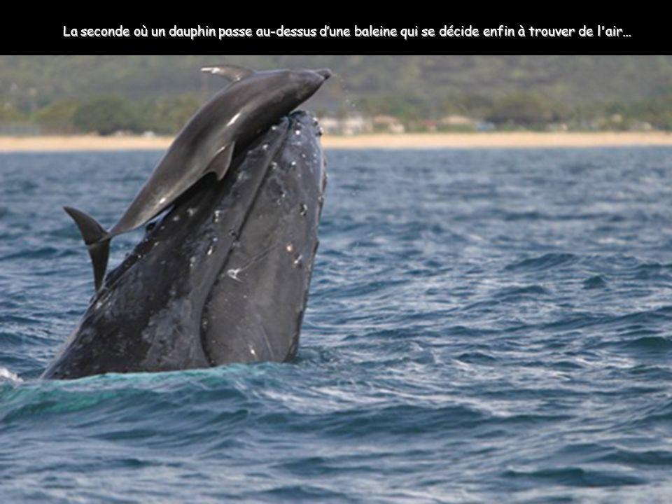 La seconde où un dauphin passe au-dessus dune baleine qui se décide enfin à trouver de l air…