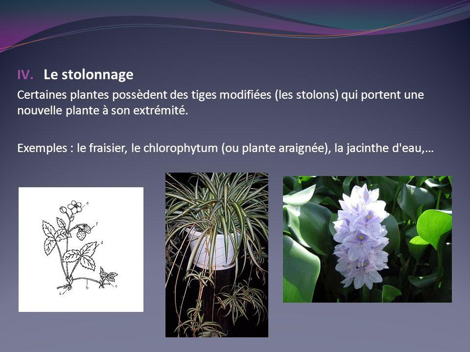 IV. Le stolonnage Certaines plantes possèdent des tiges modifiées (les stolons) qui portent une nouvelle plante à son extrémité. Exemples : le fraisie