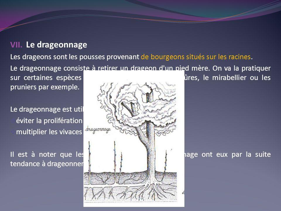 VII. Le drageonnage Les drageons sont les pousses provenant de bourgeons situés sur les racines. Le drageonnage consiste à retirer un drageon d'un pie