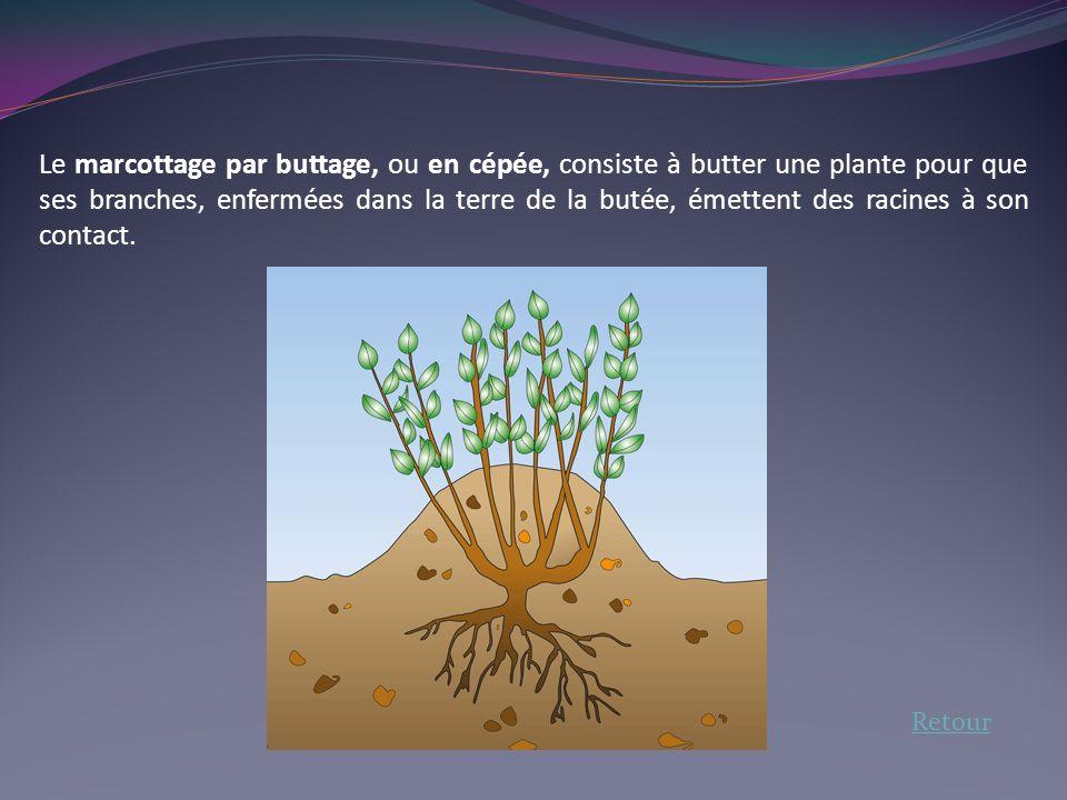 Le marcottage par buttage, ou en cépée, consiste à butter une plante pour que ses branches, enfermées dans la terre de la butée, émettent des racines