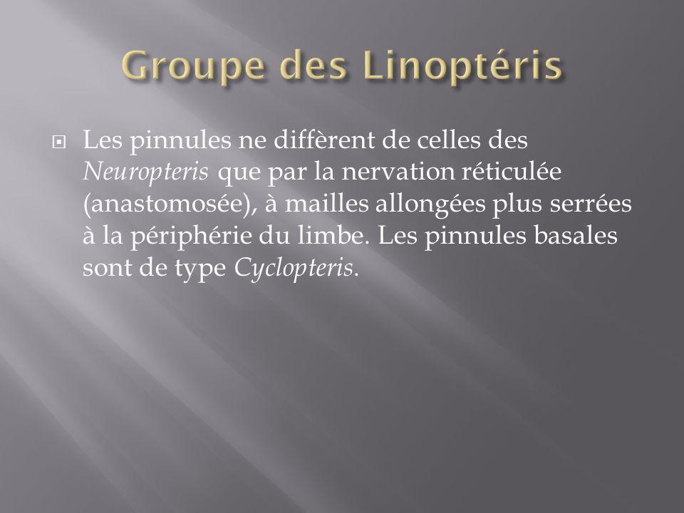 Les pinnules ne diffèrent de celles des Neuropteris que par la nervation réticulée (anastomosée), à mailles allongées plus serrées à la périphérie du limbe.
