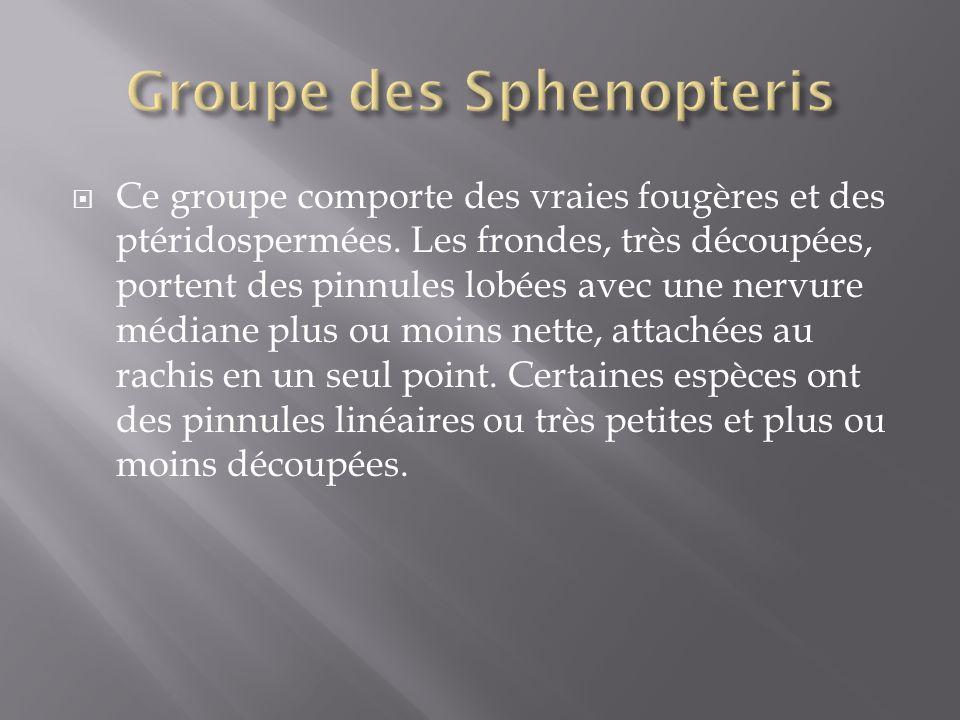 Ce groupe comporte des vraies fougères et des ptéridospermées.