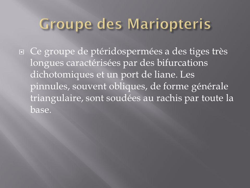 Ce groupe de ptéridospermées a des tiges très longues caractérisées par des bifurcations dichotomiques et un port de liane.