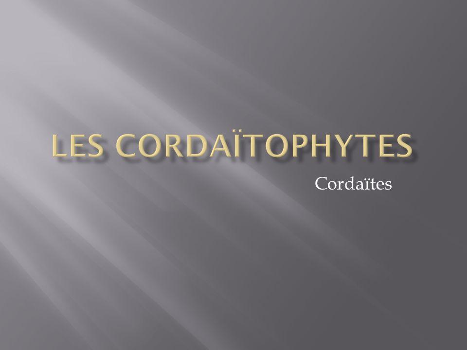 Cordaïtes