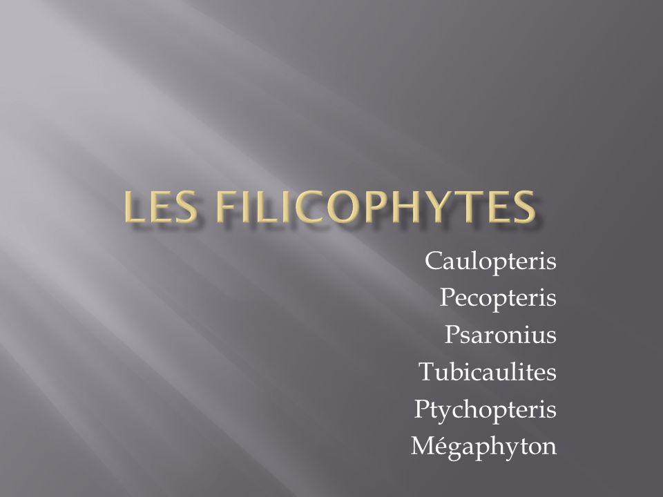 Caulopteris Pecopteris Psaronius Tubicaulites Ptychopteris Mégaphyton
