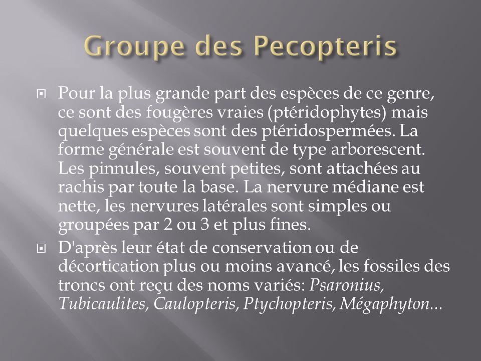 Pour la plus grande part des espèces de ce genre, ce sont des fougères vraies (ptéridophytes) mais quelques espèces sont des ptéridospermées.