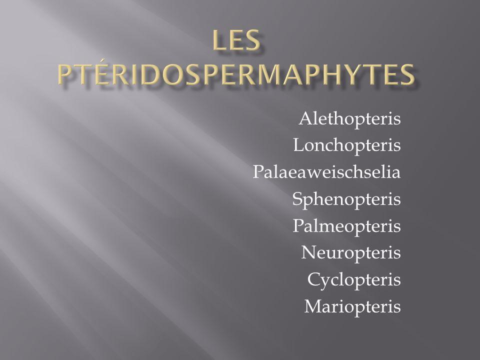 Alethopteris Lonchopteris Palaeaweischselia Sphenopteris Palmeopteris Neuropteris Cyclopteris Mariopteris