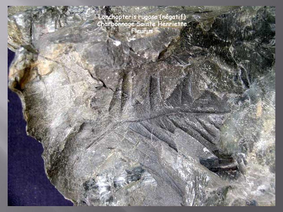 La plupart sont des ptéridospermées à frondes de grande taille.