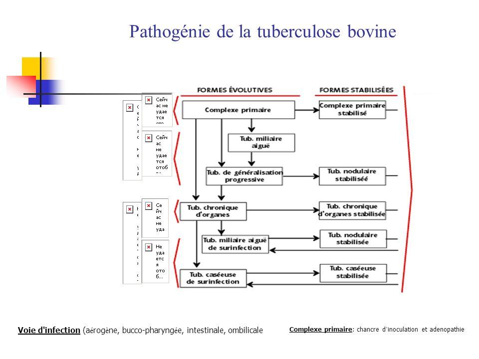 Pathogénie de la tuberculose bovine Complexe primaire: chancre d inoculation et adenopathie Voie d'infection (a é rog è ne, bucco-pharyng é e, intesti