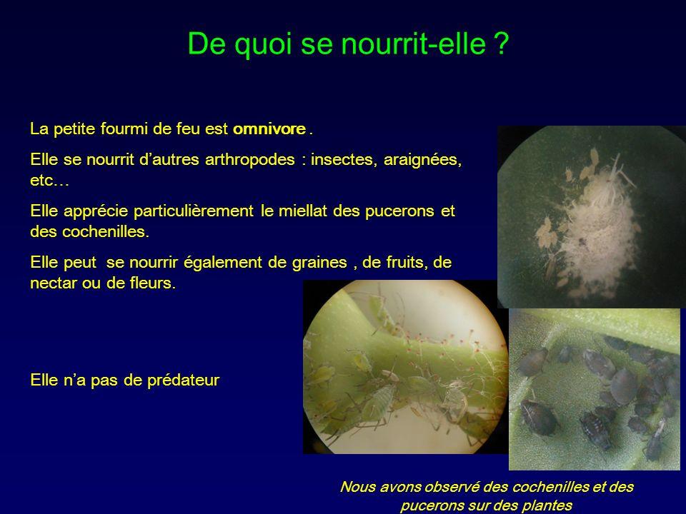 La petite fourmi de feu est omnivore. Elle se nourrit dautres arthropodes : insectes, araignées, etc… Elle apprécie particulièrement le miellat des pu