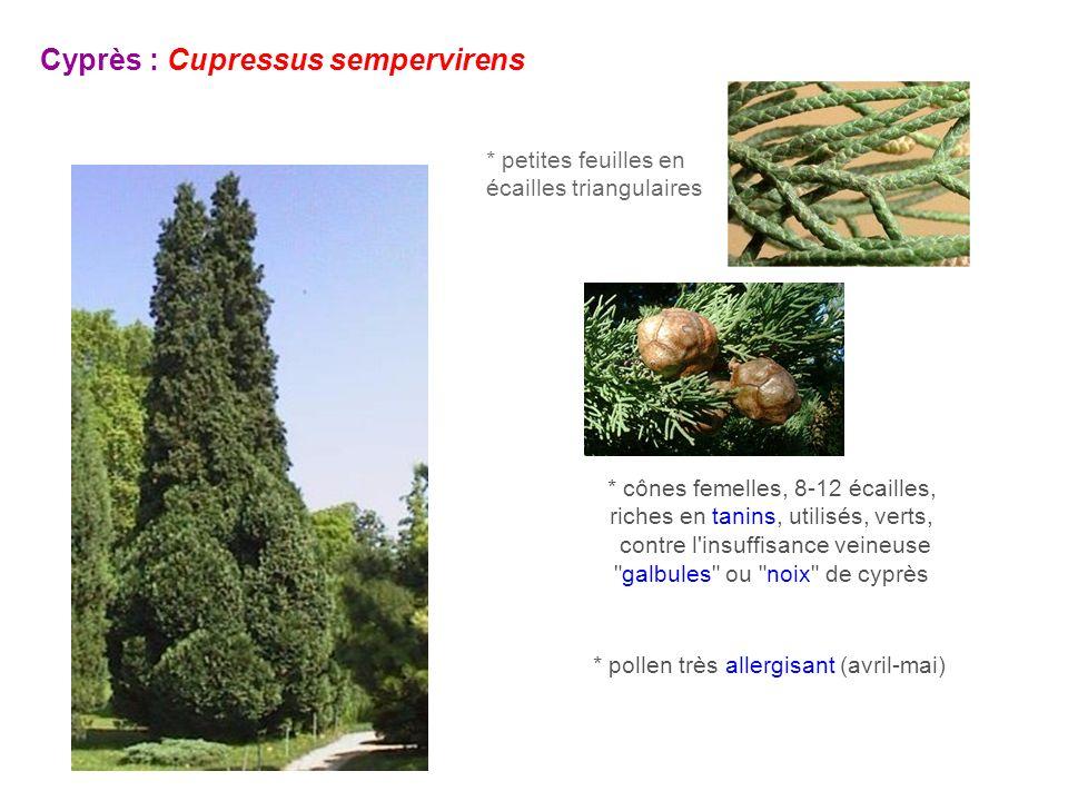 Cyprès : Cupressus sempervirens * petites feuilles en écailles triangulaires * cônes femelles, 8-12 écailles, riches en tanins, utilisés, verts, contr