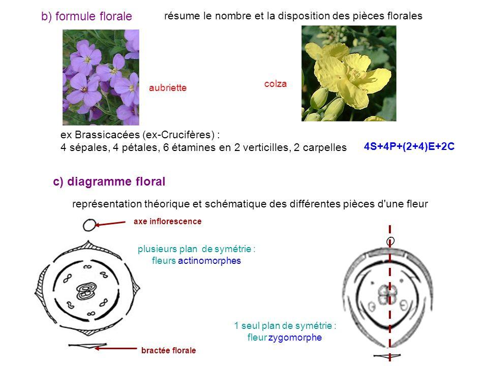 b) formule florale résume le nombre et la disposition des pièces florales ex Brassicacées (ex-Crucifères) : 4 sépales, 4 pétales, 6 étamines en 2 vert